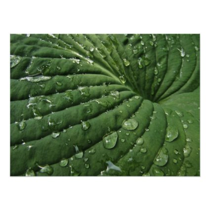Raindrops on Hosta Leaf Poster