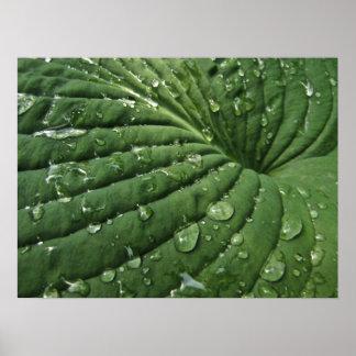 Raindrops on Hosta Leaf Poster