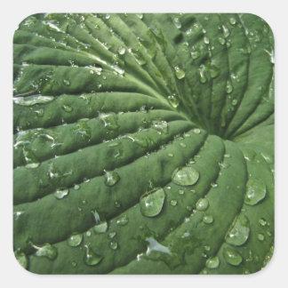 Raindrops on Hosta Leaf Stickers