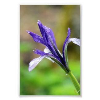 Raindrops on Iris Photo Art