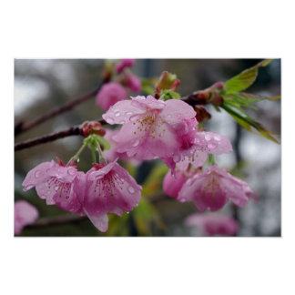 Raindrops on pink cherry blossoms poster