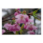 Raindrops on pink cherry blossoms posters