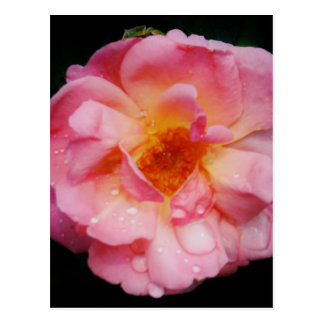 Raindrops on Pink Rose Flower Photo Postcard
