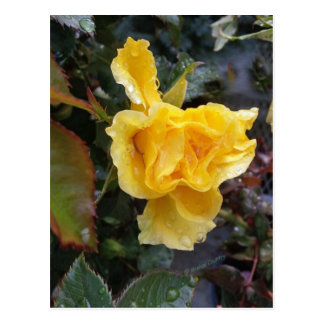 Raindrops on Roses - Yellow Rose Postcard