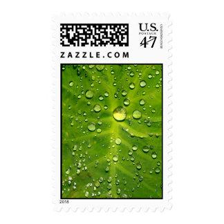 Raindrops on taro leaf postage