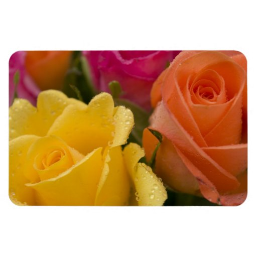 Raindrops on Yellow Orange and Pink Roses Rectangular Photo Magnet