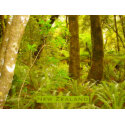 Rainforest of New Zealand print