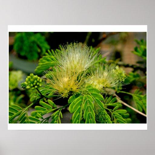 Raintree plant in bloom Green leaves Poster