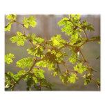 Raintree ramifica foto de los bonsais
