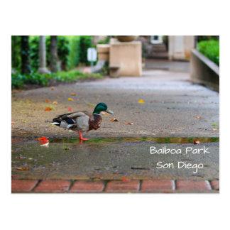 Rainy Day Duck Balboa Park San Diego Postcard