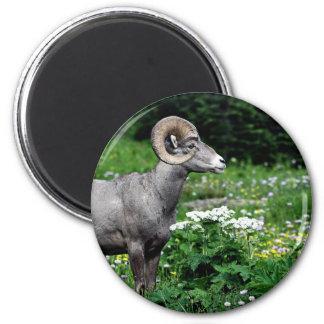 Ram in a Field Magnet