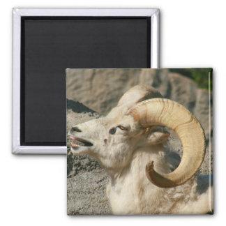 Ram or Bighorn Sheep Laughing Magnet
