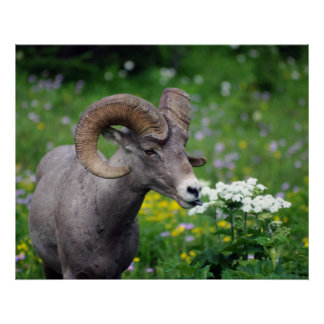 Ram - Smelling the Flowers Poster