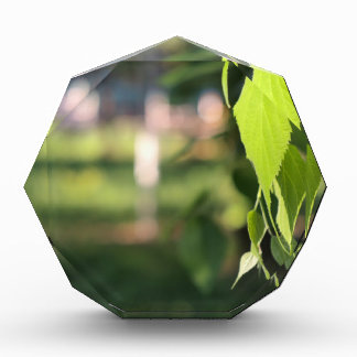 Rama del abedul con las hojas verdes