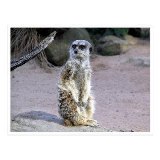 rama del meerkat tarjetas postales