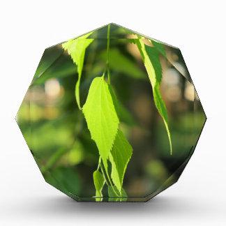 Rama verde del abedul con las hojas