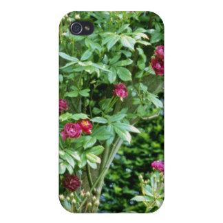Rambler Rose Adelaide d'Orleans On Pergola iPhone 4 Case