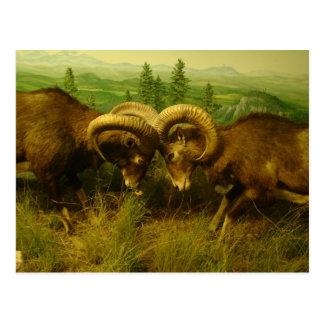 Rams Postcard