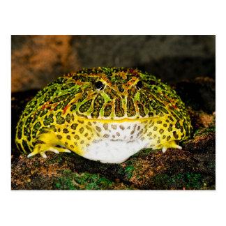 Rana adornada del cuerno, ornata de Ceratophrys, Tarjetas Postales