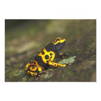rana Amarillo-congregada Dendrobates del dardo del Cojinete