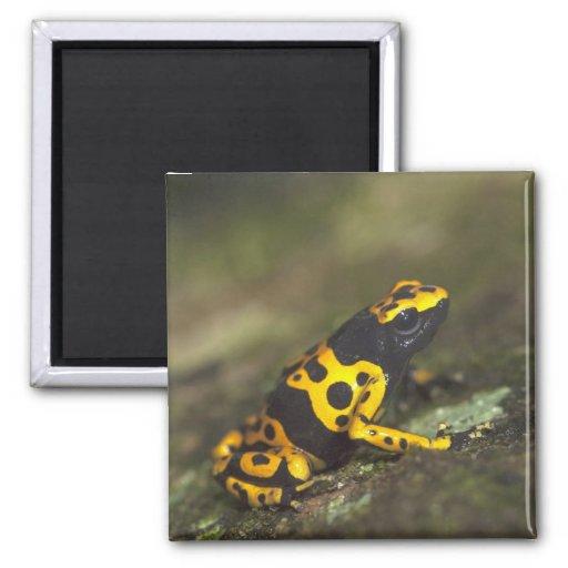 rana Amarillo-congregada Dendrobates del dardo del Imán De Frigorífico