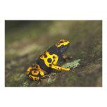 rana Amarillo-congregada Dendrobates del dardo del Arte Fotografico