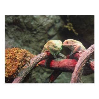 Rana arbórea cerosa del mono tarjetas postales