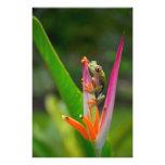 rana arbórea del Rojo-ojo, Costa Rica 2 Cojinete