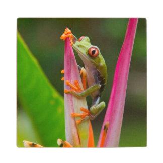 rana arbórea del Rojo-ojo, Costa Rica 2