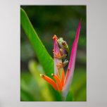 rana arbórea del Rojo-ojo, Costa Rica 2 Posters