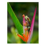 rana arbórea del Rojo-ojo, Costa Rica 2 Tarjeta Postal