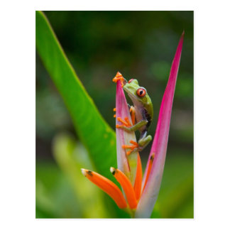 rana arbórea del Rojo-ojo, Costa Rica 2 Postal