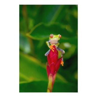 rana arbórea del Rojo-ojo, Costa Rica Fotografías