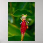 rana arbórea del Rojo-ojo, Costa Rica Impresiones