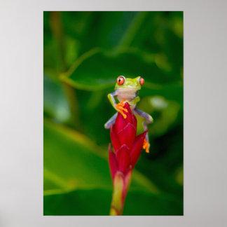 rana arbórea del Rojo-ojo, Costa Rica Póster