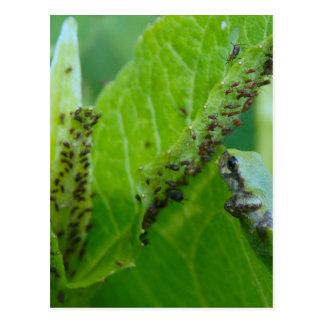 Rana arbórea en la comida fría del áfido postal