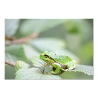 Rana arbórea europea en la impresión verde de la fotografías