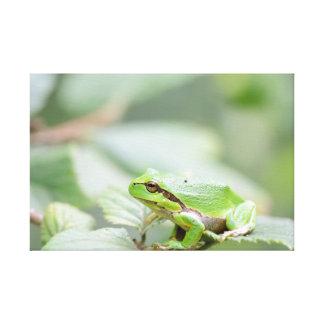 Rana arbórea europea en la impresión verde de la lona estirada galerías