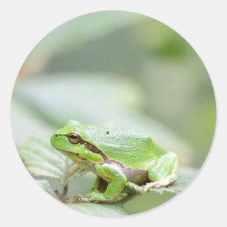 Rana arbórea europea en pegatina redondo verde