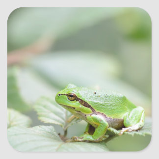 Rana arbórea europea en pegatina verde