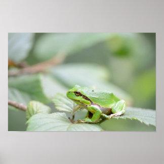 Rana arbórea europea en poster verde