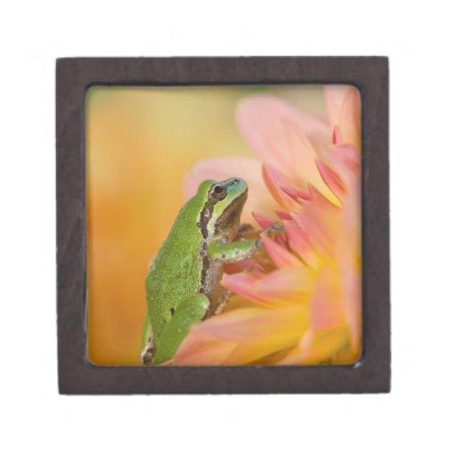 Rana arbórea pacífica en las flores en nuestro jar caja de recuerdo de calidad