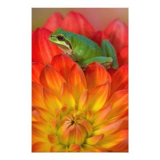 Rana arbórea pacífica en las flores en nuestro jar impresión fotográfica