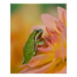 Rana arbórea pacífica en las flores en nuestro jar póster