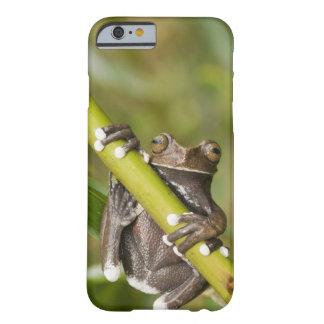 Rana arbórea prisionera Hyloscirtus de Tapichalaca Funda Barely There iPhone 6
