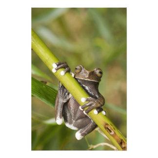 Rana arbórea prisionera Hyloscirtus de Tapichalaca Fotos
