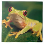Rana arbórea roja del ojo azulejo cuadrado grande