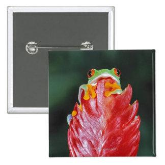 Rana arbórea Rojo-Observada en la hoja Pin Cuadrado