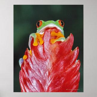 Rana arbórea Rojo-Observada en la hoja Póster