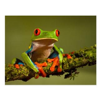 Rana arbórea Rojo-Observada Tarjetas Postales